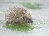 Hedgehog  UK