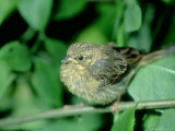 Cirl Bunting  Female  England  UK