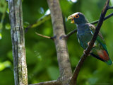 White-Crowned Parrot  Parrot Perched on Branch with Beak Open  Costa Rica