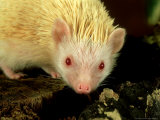 Four-Toed Hedgehog  Albino  England