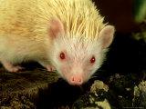 Four-Toed Hedgehog  Albino  England