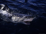 Great White Shark  Surfacing  South Australia