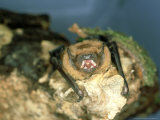 Noctule Bat  UK
