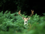 Fallow Deer  Buck  UK