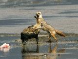 Golden Jackals  Fighting Over Dead Flamingo Parts  Tanzania