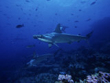 Scalloped Hammerhead Shark  Group  Galapagos
