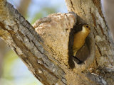 Rufous Hornero  Bird Making Mud Nest in Fork of Tree  Brazil