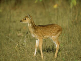 Spotted Deer  Fawn  India