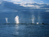 Humpback Whales  a Row of Blows  USA  Pacific Ocean