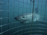 Great White Shark  With Cage  S Africa