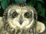 Short-Eared Owl  England