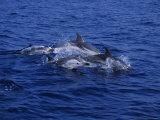 Striped Dolphin  Porpoising  Mediterranean