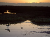 American Avocet  with Baby at Sunrise  Northern California  USA