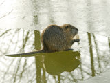 Coypu or Nutria on Frozen River Feeding  France