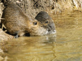 Coypu or Nutria  Pair on Riverbank  France