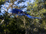 Hyacinth Macaw  Parrot in Flight  Brazil