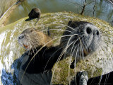 Coypu or Nutria  Being Inquisitive  France
