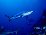 Dagsit Shark  Swimming  Polynesia