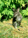 Red-Necked Wallaby  Young  England