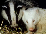 Badger  Erythristic and Normal  UK