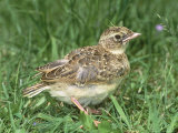 Skylark  Young in Grass