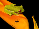 Red-Eyed Tree Frog on Haliconia Flower with an Ant  Costa Rica