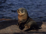 New Zealand Fur Seal  Young  South Australia
