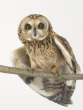 Short-Eared Owl  St Tiggywinkles Wildlife Hospital  UK