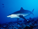 Silvertip Shark  Swimming  Polynesia