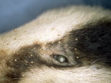 Badger  Covered in Biting Lice  Trichodectes Melis
