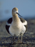 American Avocet  with Babies  Northern California  USA