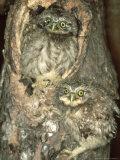 Little Owl  Juvenile  England