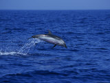 Striped Dolphin  Leaping  Mediterranean