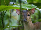 Red Brocket Deer  Portrait  Costa Rica