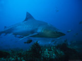 Tiger Shark  Swimming  South Africa