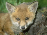 Red Fox  Juvenile