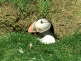Puffin  Peering out of Hole  Shetland