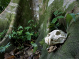 Jaguar Skull on Ground in Rainforest Near Roots of Tree  Costa Rica