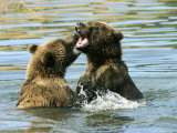 Alaskan Brown Bear  Two Bears Fighting in Water  Alaska
