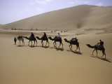 Camels in Caravan Walking in Desert  Morocco