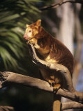 Matschies Tree Kangaroo in Tree  South Australia