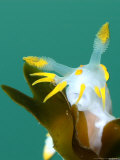 Nudibranch  Feeding  UK