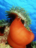 Red Anemone, St. Johns Reef, Red Sea Papier Photo par Mark Webster