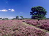 Bell Heather and Ling  the New Forest  UK