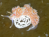 Nudibranch  with Eggs  UK