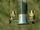 Goldfinch  Pair Feeding on Birdfeeder  UK
