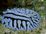Striped Nudibranch  Fury Shoal  Egypt