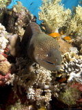 Moray in Coral  Red Sea