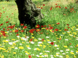 Wild Flowers in Olive Grove  Skiathos  Greece