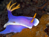 Hyspselodoris Bullockii  Indonesia